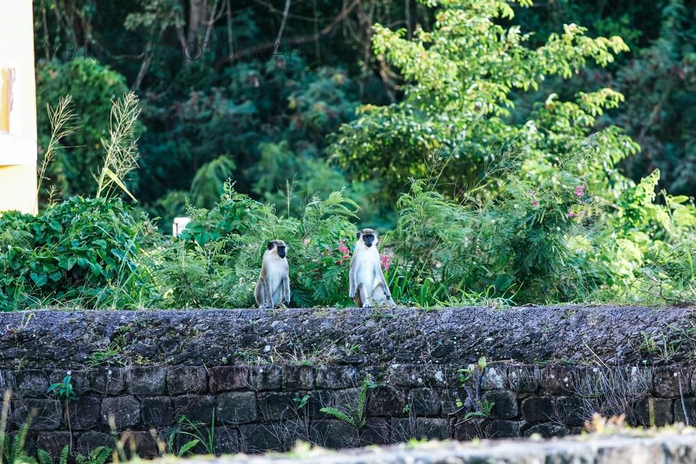 Monkeys of Nevis